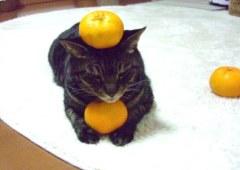 起きているネコに何個みかんを乗せれるか